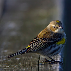 by Keith Lowrie - Animals Birds ( song bird, small birds, yellow-rumped warbler, warblers, small bird, yellow-rumped, warbler,  )