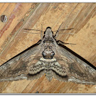 Five-spotted Hawk Moth