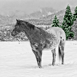 Appaloosa in snow by Twin Wranglers Baker - Animals Horses