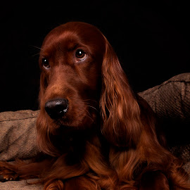 For the love of treats by Ken Jarvis - Animals - Dogs Portraits ( treats, irish setter, dog portrait, irish, dog )