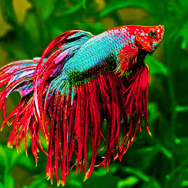 Betta by David Winchester - Animals Fish