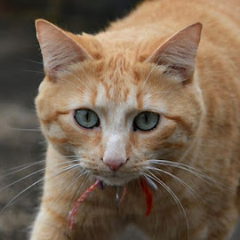 Mr Henry by Dobrin Anca - Animals - Cats Portraits ( cats, sunny, henry, brittany, eyes )
