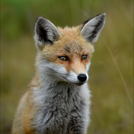 FOX CUB by Ita Martin - Animals Other Mammals ( fox cub )