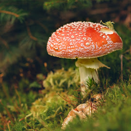 Red and white by Witold Steblik - Nature Up Close Mushrooms & Fungi ( mushroom, macro, red, nature, white, forest )