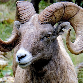 Ram Head by Barbara Brock - Animals Other Mammals ( large horns, ram, large mammal, male goat )