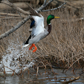 Lift off by Ron Walker - Animals Birds ( water, flight, nature, mallard, wings, outdoors, ducks, duck, wildlife, water bird )