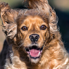 by Harold Blum - Animals - Dogs Portraits ( buddy, dogs, happy, chicago, hair, running, eyes )