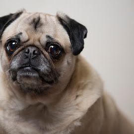 Pugs are awesome by Kimberly Arend Porter - Animals - Dogs Portraits ( love, baby girl, dog, portrait, pug )