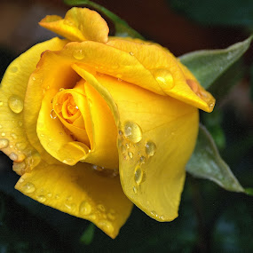 Yellow Rose by Bob White - Flowers Single Flower ( yellow rose, peace, friendship, yellow, flower, floral, yellow flower,  )