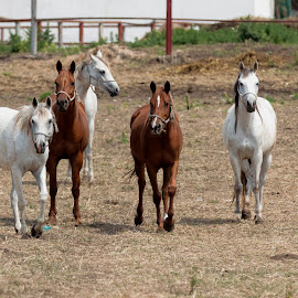 by Carla Coanda - Animals Horses ( animals, nature )
