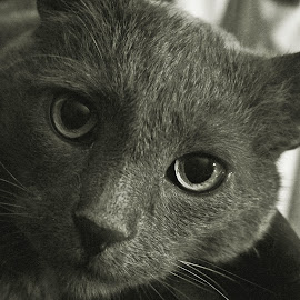 by Gary Colwell - Animals - Cats Portraits ( blackwhite, cat, portrait, buddy,  )