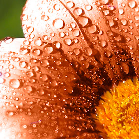 Peach drops by Dawn Vance - Nature Up Close Flowers - 2011-2013 ( macro, drops, peach, flower, rain )