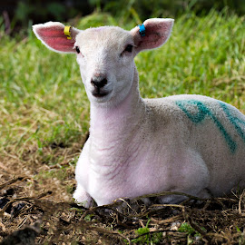 by Paul Scullion - Animals Other Mammals ( sheep, baby, lamb, spring, animal )