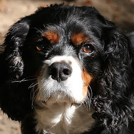 Jack by Chrissie Barrow - Animals - Dogs Portraits ( curly, pet, white, whiskers, fur, ears, cavalier king charles spaniel, dog, nose, tan, black, portrait, eyes )