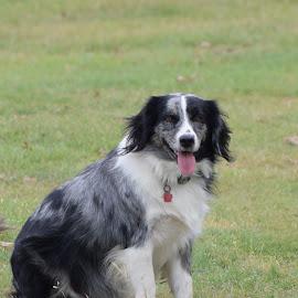 Heidi by Holly Dolezalik - Animals - Dogs Portraits ( mix breed, gray and black, australian shepherd, dog, animal )