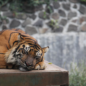 Sleepy by Mhd. Qadarsyah - Animals Lions, Tigers & Big Cats