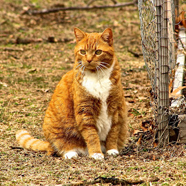 On the prowl by Jackie T. - Animals - Cats Portraits ( hunter, orange, cat, yard, pet, fat, kitty, tabby, animal )
