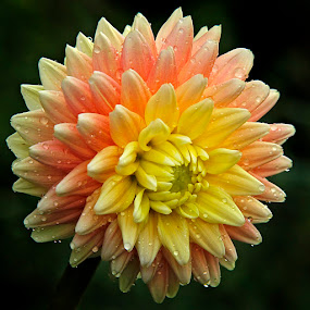 dahlia orens by Chev Sheva Chenko - Nature Up Close Flowers - 2011-2013