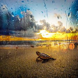 Rainy Daze by Mike Whitehead - Landscapes Sunsets & Sunrises ( ocean, beach, sunrise, turtle, rain,  )