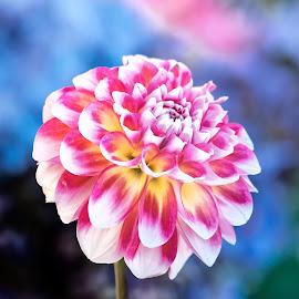 Festival Dahlia by Jim Downey - Flowers Single Flower ( red, white, blue, dahlia, yellow )