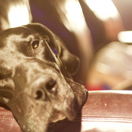 Sleepy Great Dane  by David Plummer - Animals - Dogs Portraits ( tired, sleeping, dog, black, great dane )