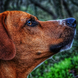 You ain't nothing but a hound dog. by Matthew Miller - Animals - Dogs Portraits ( hound, dog portrait, puppy, dog, puppy portrait,  )