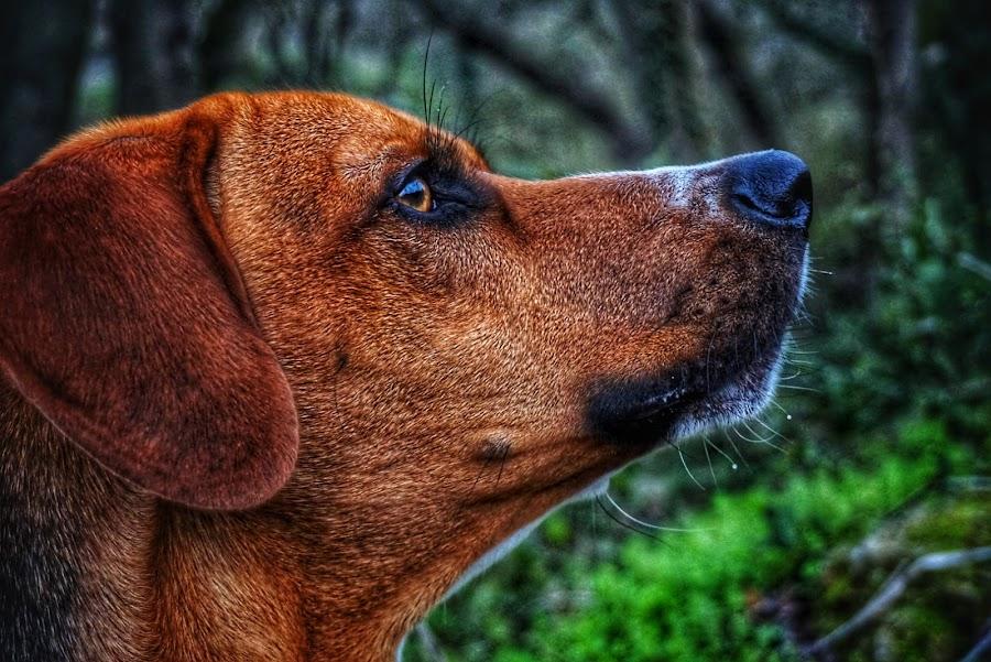 You ain't nothing but a hound dog. by Matthew Miller - Animals - Dogs Portraits ( hound, dog portrait, puppy, dog, puppy portrait )