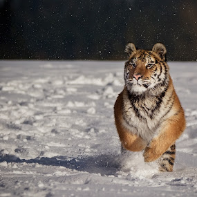 Run at snow by Jiri Cetkovsky - Animals Lions, Tigers & Big Cats ( cat, winter, sbow, tiger, ussurian, run )