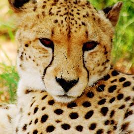 Male Cheetah by Lisa Richardson - Animals Lions, Tigers & Big Cats ( cheetah )