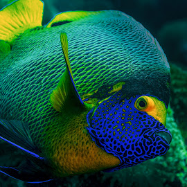 yellow mask angelfish by Peter Schoeman - Animals Fish ( fish, yellowface, mask, travel, yellow, nature, angelfish, xanthometopon, deep, black, regal, isolated, wild, blueface, blue-face, angel, scuba, diving, face, coral, underwater, colorful, vivid, yellow mask angelfish, tropical, wildlife, ocean, beauty, exotic, photography, island, life, yellow-masked, swim, marine-life, closeup, animal, marine, pomacanthus, water, reef, beautiful, dive, sea, photos, aquatic, blue, color, background, saltwater, world )