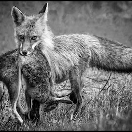 Fox and Rabbit by Dave Lipchen - Black & White Animals ( fox rabbit )