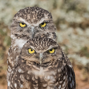 Burrowing Owls-2283.jpg