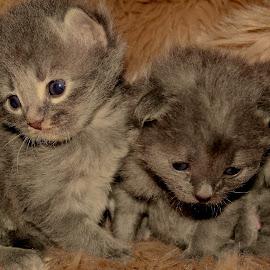 by Ricky Friskilæ - Animals - Cats Kittens ( cats, beautifull, photoshoot, kittens, norway )