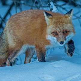 Stepping Carefully by Steve Dunsford - Animals Other Mammals ( fox, canada, ontario parks, wildlife photography, wildlife, ontario, red fox, winter, cold, nature, algonquin, snow, outdoor, nature photography, algonquin park, animal )