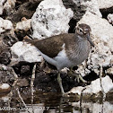 Common Sandpiper; Andarríos Chico