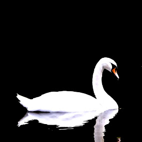 by Hayley Springall - Animals Birds ( reflection, swan )