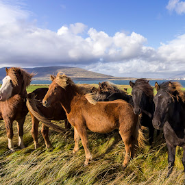 Grazing by Jarrod Kudzia - Animals Horses ( clouds, iceland, sky, horses, grass )
