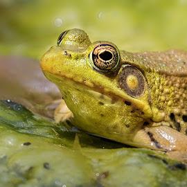 by Dennis Bartsch - Animals Amphibians