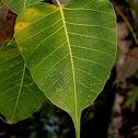 അരയാല്, peepal tree, sacred fig
