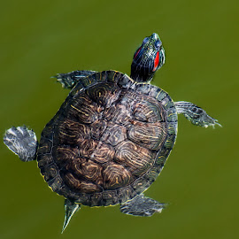 Red-eared Slider Turtle by Dave Lipchen - Animals Reptiles ( floating, red-eared, turtle, green backgroung )