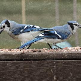 Double Take by Melissa Davis - Animals Birds ( bluejays, backyard birds, missysphotography, blue jay, birds )