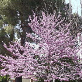 Purple flowering tree by Donna Probasco - Novices Only Flowers & Plants (  )