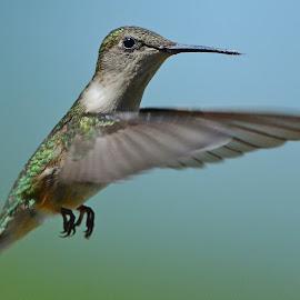 Female Ruby-throated hummingbird by Steven Liffmann - Animals Birds