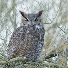Great Horned Owl by Neal Kulick - Animals Birds ( owl bird )