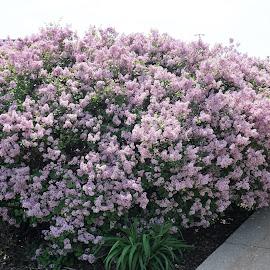 Lilacs by Kathy Kehl - Nature Up Close Trees & Bushes ( pretty flowers, flowers, pretty flower, pretty, lilac bush, flower, lilacs )