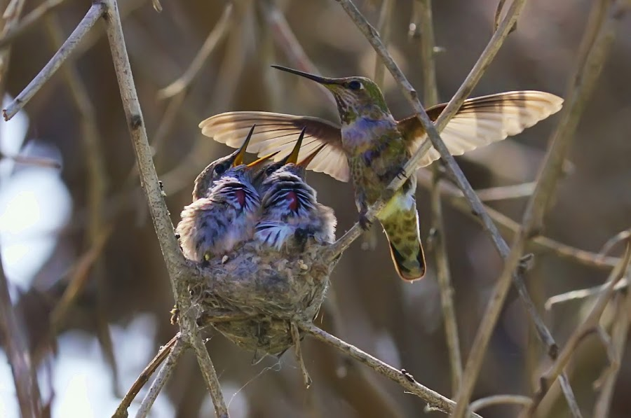 No One Like You by Paul Marto - Animals Birds ( annas hummingbird, hummingbird nest, bird nest, hummingbirds in flight, hummingbird babies, hummingbirds, animal, motion, animals in motion, pwc76, baby, young, , bird, fly, flight )