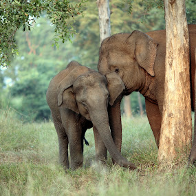 Elephants of Betla by Anindya Sengupta - Animals Other Mammals ( elephants, animals, national park, reserves, india, forest )