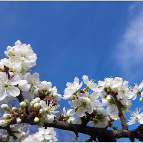 Fa nász by Zlatko Sarcevic - Flowers Tree Blossoms ( fák, tavasz, rügyek, makró, virágok )
