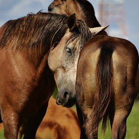 Mother's love  by Marcello Toldi - Animals Horses