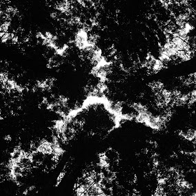 Redwood Canopy by Karina Zawilinski - Black & White Flowers & Plants ( canopy, redwoods, leaves, abstract, trees )